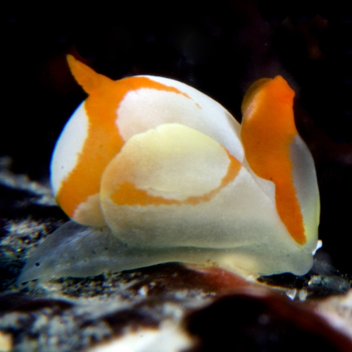 Chicken, Siphopteron makisig, nudibranch mollusk from Indonesia