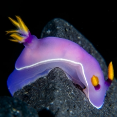 Nudibranch mollusk Hypselodoris from Bali, Indonesia