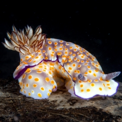 Beautiful hypselodoris, Hypselodoris pulchella, from Bali