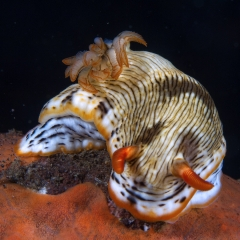 Chromodoris burni