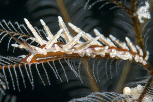 Nudibranch images - Eubranchus sp.